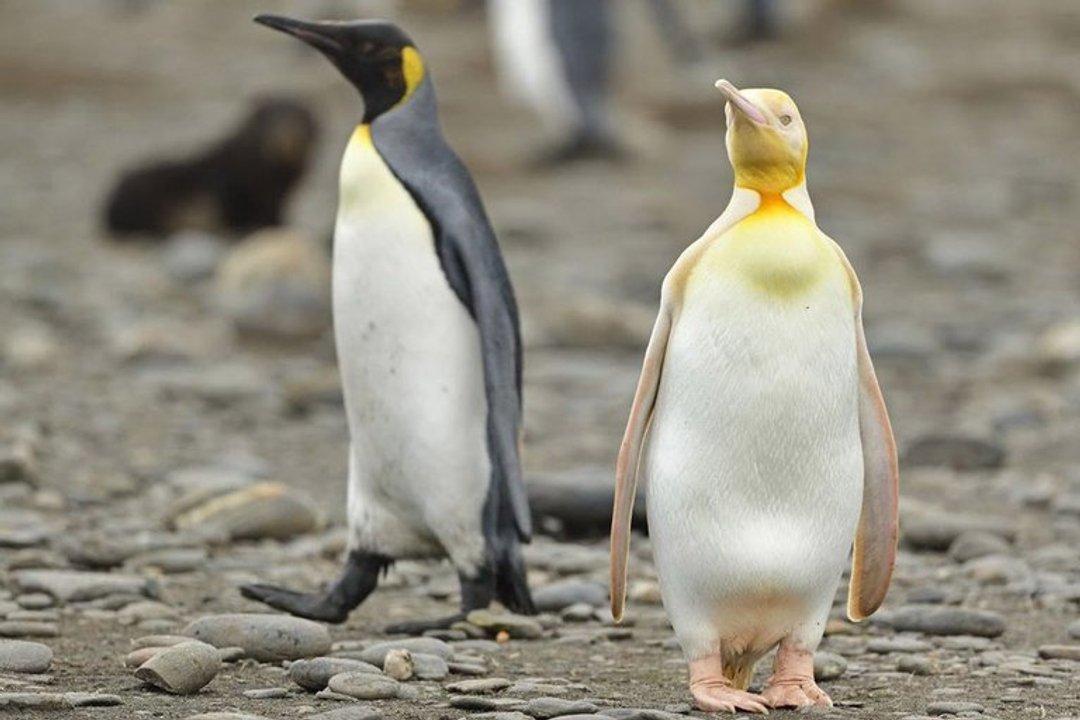 Pingüino amarillo. (yves_adams)